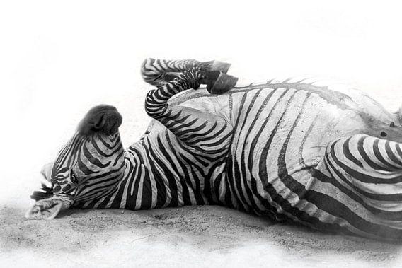 Rollende Zebra, zwart-wit (Dierenpark Emmen)