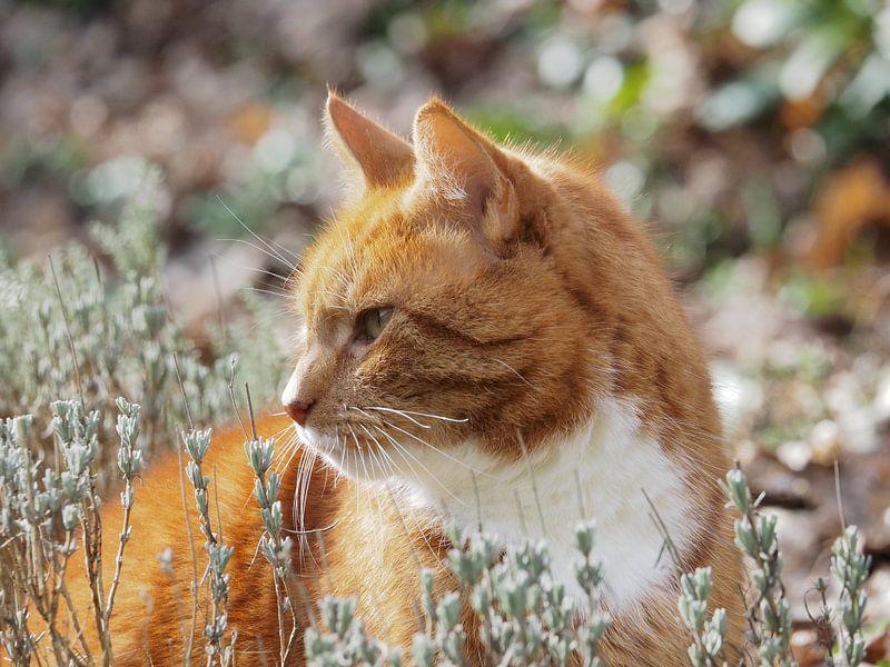 Katze im Lavendel von Katrin May