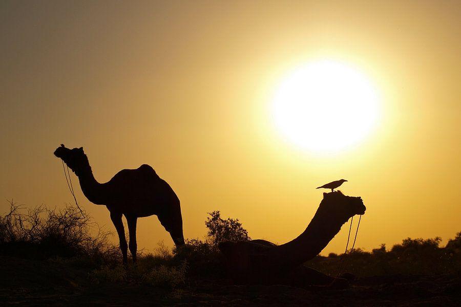 India - Camels relaxing in desert van Carina Buchspies