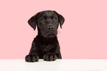 Porträt eines schwarzen Labrador-Retriever-Welpen, der niedlich aussieht und etwas vor einem rosa Hi von Elles Rijsdijk