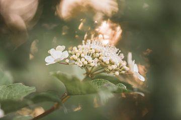 Bokeh-Blüte von Tania Perneel