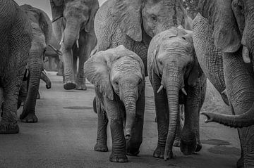 Un troupeau d'éléphants avec des petits au milieu. sur Gunter Nuyts