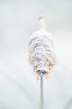 Wit ijs in de natuur: Typha latifolia of Grote lisdodde of stinksigaar, Bloem bedekt met ijzige vors van John Quendag