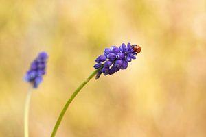 Lieveheersbeestje op een Blauwe Druif