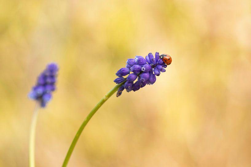 Lieveheersbeestje op een Blauwe Druif van Mireille Breen