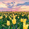 Gele tulpen van Nick de Jonge - Skeyes thumbnail
