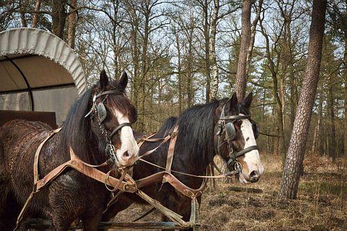 Huifkar met 2 Shire paarden