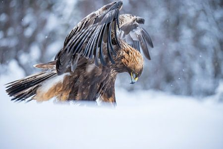 De Steenarend. Aquila chrysaetos