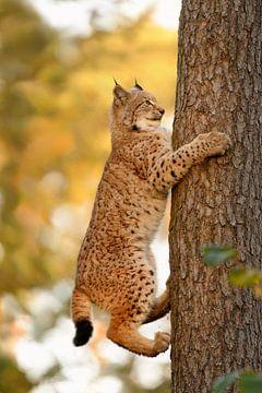 climbing up a tree ... Eurasian Lynx *Lynx lynx* van