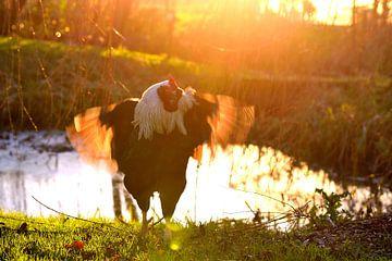 Kraaiende haan tijdens zonsondergang van Sjoerd Murk