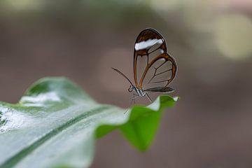 Glasflügler Schmetterling - Glasflügler Schmetterling von Albert Beukhof