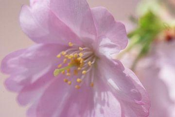 Bloesem. Hanami. Cherry Blossom. van George Ino