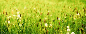 sommerwiese mit pusteblumen von Dörte Stiller