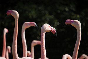 Flamingo-bijeenkomst van Ruud Jansen