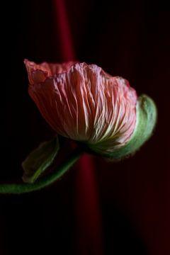 Papaver bloem van