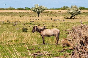 Konikpaard Oostvaardersplassen van Merijn Loch