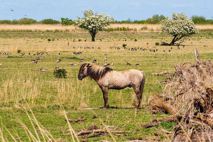 Konik-Pferd Oostvaardersplassen von Merijn Loch