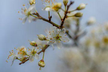 Blütenzweig von Diane van Veen