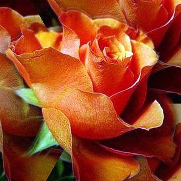 Rose von Gertrud Scheffler