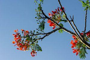 Flamboyant boom van Mirella Klas