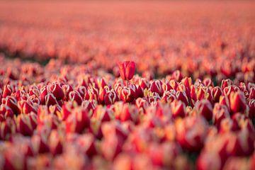 Einsame Tulpe von Valerie de Bliek