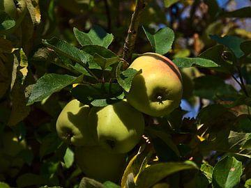 Des pommes mûres sur un pommier en automne sur Timon Schneider