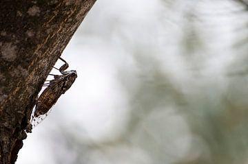 Cicade von Mees Tempelaar