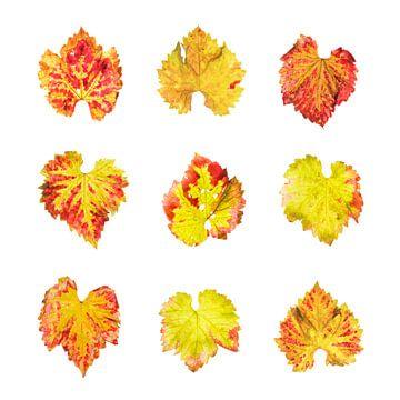 Druiven bladeren in de herfst van