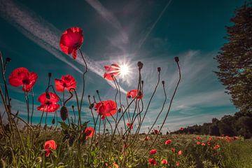 Mohnblumenfeld zum Sonnenaufgang von