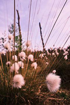 Herbe à laine de Scheuchers sur Erik Koole