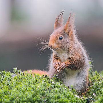 Eichhörnchen im hohen Moos von Karin van Rooijen Fotografie
