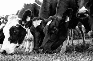 Grazende koeien op een rij