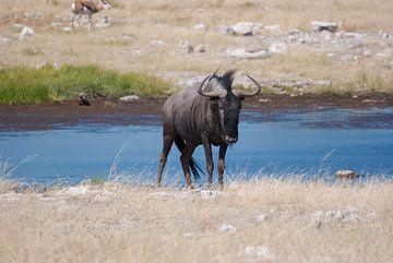Blue Wildebeest van
