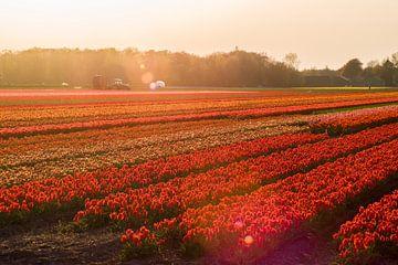 Warme zonnestralen over de rode Bloembollen velden van Stefanie de Boer