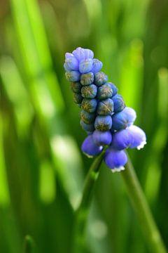 Blaue Trauben von Gerard de Zwaan