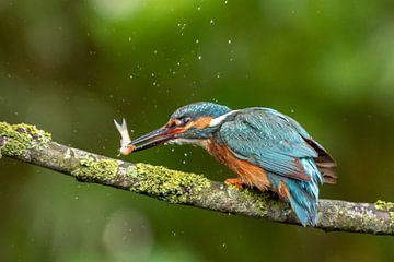 IJsvogel met vis op tak