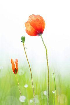 Mohnblumen in einem taufrischen Feld von Karin de Jonge