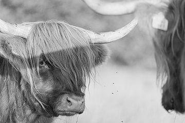 Schottischer Highlander in schwarz-weiß