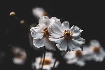 witte herfst anemonen van Tania Perneel