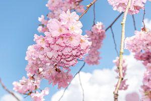 Japanse sierkers bloesem in het voorjaar