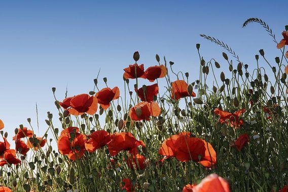 poppies van Yvonne Blokland