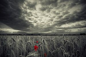 Poppy before the storm van