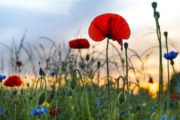 Blumenwiese im Sonnenuntergang von Danny Tchi Photography