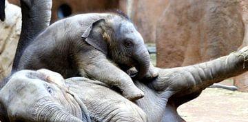 Baby olifantje Sunay aan het spelen van DMshoot .