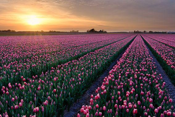 rode tulpen in een bloembollenveld tijdens de lente