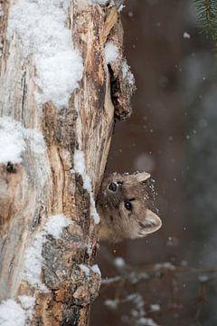 Pine Marten / Spruce Marten ( Martes americana ) kijkt nieuwsgierig uit zijn hol in een oude boom, w van wunderbare Erde