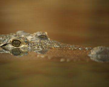 Crocodile avec l'œil juste au-dessus de l'eau en noir et blanc sur Patrick van Bakkum