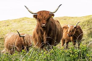 Schotse Hooglanders van Nicole de Boer
