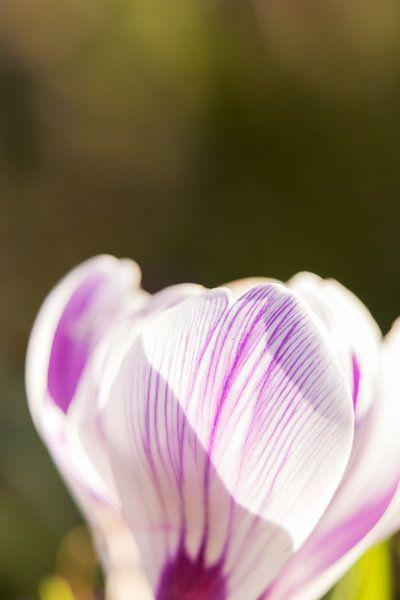 lentekleuren | bloemenkunst |   macrofoto van krokus, oranje meeldraden in een bloem | fine art foto