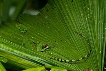 Kronen-Basilisk oder Helmbasilisk (Jesus Christus-Echse) Costa Rica von Merijn Loch